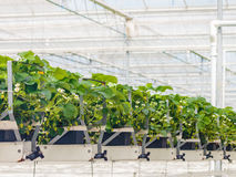 Young strawberry plants inside a greenhouse Royalty Free Stock Photos