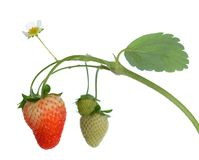 Young strawberry Royalty Free Stock Images