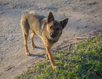 Young stray dog Royalty Free Stock Images