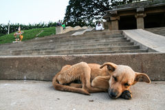 Young stray dog sleeping Stock Photography