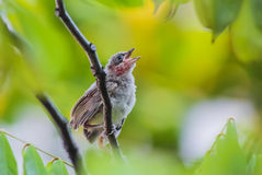 Young streak-eared bulbul bird stand on a branch Stock Image