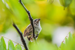 Young streak-eared bulbul bird stand on a branch Royalty Free Stock Photography