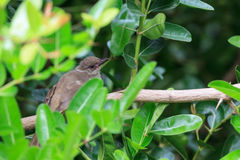 A young Streak-eared Bulbul hold on branch Stock Image