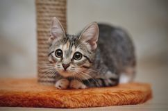 Young striped cat with brown eyes Stock Photography