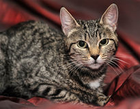 Young striped cat Royalty Free Stock Photo