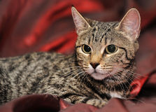 Young striped cat Stock Photography