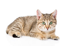 Young striped cat looking at camera. isolated on white backgroun Royalty Free Stock Images