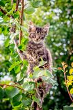 A young, striped, restless cat sits on a tree branch_. A young, striped, restless cat sits on a tree branch royalty free stock image
