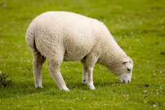 Young and strong. Lamb in good condition grazing near Castle Dumblandrig (Scotland Stock Photo