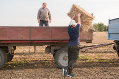 Young and strong farmer throw hay bales in a tractor trailer - b. Ales of wheat at field royalty free stock photo