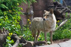Young and strong gray wolf at the zoo stock photo
