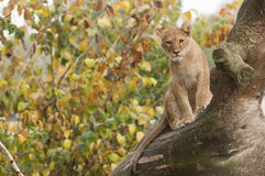 Young subject of lion Stock Images