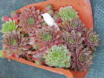 Young succulent palnts. Young succulent plants (Jovibarba Hirta Royalty Free Stock Photography