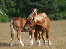 Young Suffolk Punch Horses Grooming Royalty Free Stock Photos