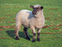 A young suffolk sheep Stock Photo