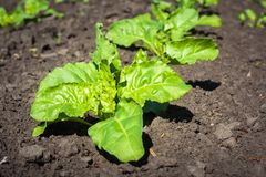A young sugar beet plant on the field.  stock images