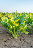 Young sugar beet plants in early morning sunlight Royalty Free Stock Image