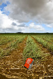 Young sugar cane plants in field - Mauritius Stock Photos