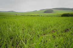 Young sugar cane plants. In South Africa royalty free stock photo