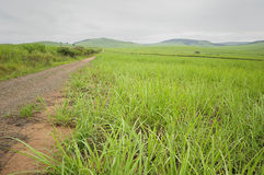 Young sugar cane plants. In South Africa stock photo