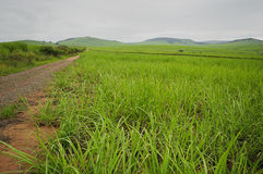 Young sugar cane plants. In South Africa stock photography