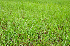 Young sugar cane plants. In South Africa royalty free stock photos