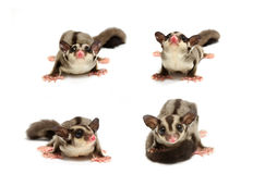 Young sugar glider looking photograp Stock Images