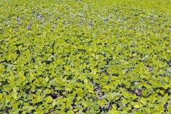 Young sugar pea vegetable garden Royalty Free Stock Photography