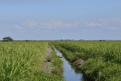 Young Sugarcane Canal. Young Sugarcane Grows Along Irrigation Canal In Southern Florida stock image