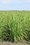 Young Sugarcane Plant. Grows In Southern Florida stock photography