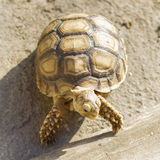 Young Sulcata tortoise Stock Images