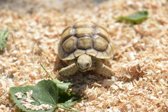 Young Sulcata. Royalty Free Stock Photo