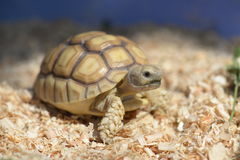 Young Sulcata. Stock Image