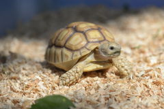 Young Sulcata. Stock Images