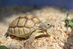 Young Sulcata. Stock Photography