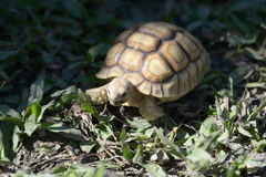 Young Sulcata. Royalty Free Stock Images