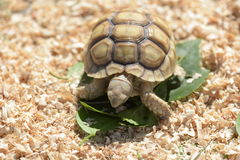 Young Sulcata Stock Photography