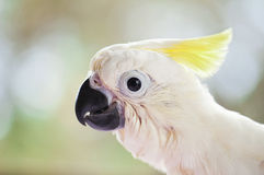 Young Sulphur Crested Cockatoo Close Up Stock Photo