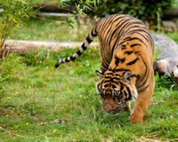 Young Sumatran Tiger Sniffing Wet Grass Royalty Free Stock Images