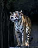 Young sumatran tiger standing in front of cave Stock Photography