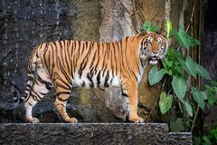Young Sumatran tiger standing in the natural atmosphere. royalty free stock photo