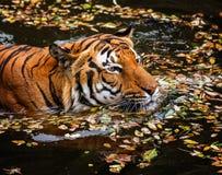 Young Sumatran tiger Stock Photography