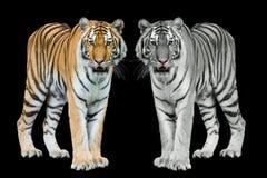 Young sumatran tiger Stock Image