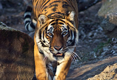 Young sumatran tiger walking out of shadow/Tiger Stock Photo