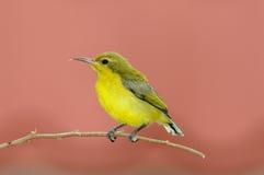 Young Sunbird Stock Photo