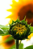 Young sunflower Stock Photography