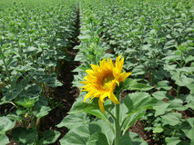 A young sunflower Royalty Free Stock Image