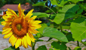 Young Sunflower on Left Stock Photography