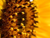 Young Sunflower. Photographed in macro photography on a sunny day Stock Photos