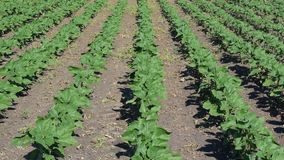 Sunflower plants on field. Young sunflower plants growing on the field in early summer stock video footage